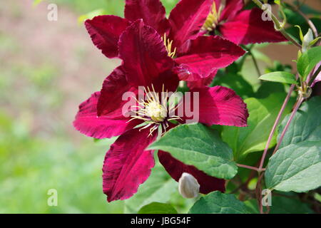 bordeaux farbene Clematis - Stock Photo