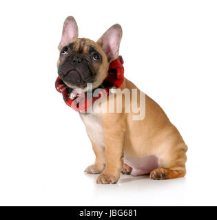 christmas puppy - french bulldog wearing plaid neck scarf with cute expression isolated on white background - Stock Photo