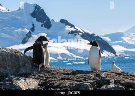 Gentoo penguins at Paradise Harbor, Antarctica - Stock Photo