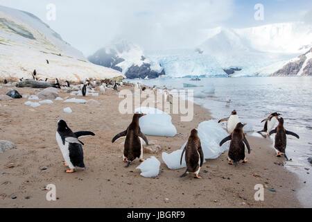 Gentoo penguins at Neko Harbor, Antarctica - Stock Photo