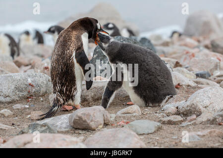Gentoo penguin feeding her chick at Dorian Bay, Antarctica - Stock Photo