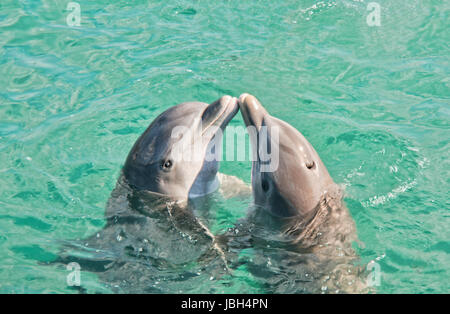 Two dolphins kissing in Caribbean waters. - Stock Photo