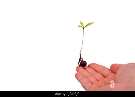 An oak tree seedling resting on a man's finger. - Stock Photo