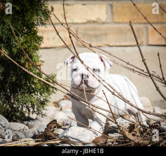 english bulldog puppy playing in the garden - Stock Photo