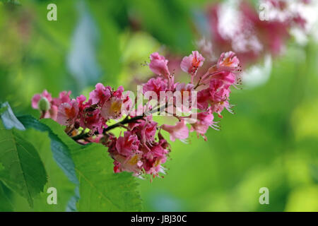 red flowering buckeye - Stock Photo