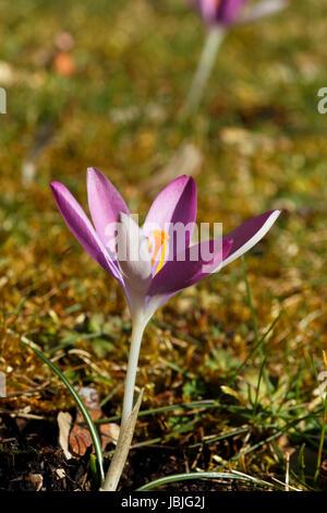 Blüte einer Elfenkrokus im Gras. - Stock Photo
