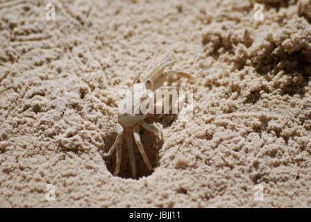 tropical sand crab - Stock Photo