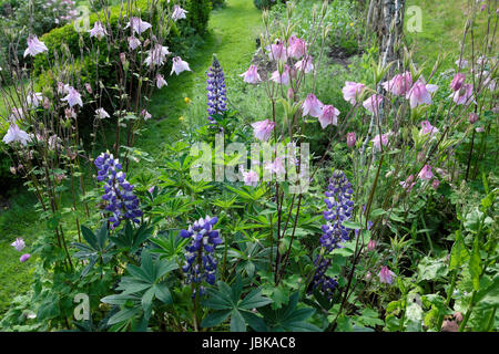 Purple and white lupin flowers and mauve pink aquilegia growing in a country garden in summer June Carmarthenshire - Stock Photo