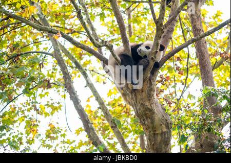 Panda cub sleeping in a tree, China - Stock Photo