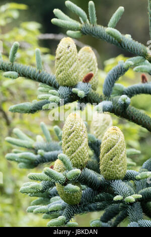 Young female seed cones contrast with the silvery foliage of the evergreen fir, Abies procera 'Glauca Prostrata' - Stock Photo