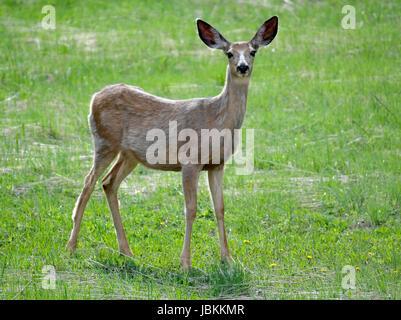 Mule Deer (Odocoileus hemionus), Yellowstone National Park, Wyoming, USA, North America. - Stock Photo