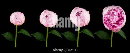 Pfingstrose, vier verschiedene Stadien der aufgehenden Blume vor schwarzem Hintergrund - Stock Photo