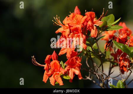 Red azaleas blooms in spring garden. Springtime beautiful flower with shallow focus - Stock Photo