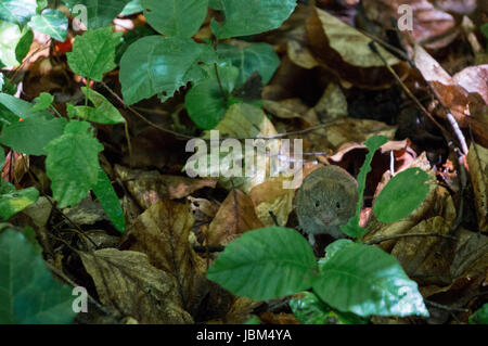 A cute mouse posing on the forest floor - Stock Photo
