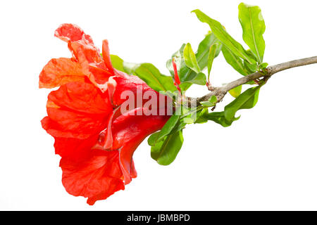 Isolated pomegranate spring blossom red flowers on white background - Stock Photo