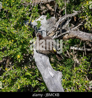 A Cape Bulbul perched on a branch in Southern Africa - Stock Photo