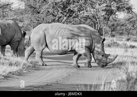 White Rhinoceros crossing road in Southern African savanna - Stock Photo