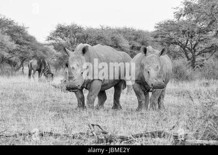 A group of White Rhinos grazing in Southern African savanna - Stock Photo