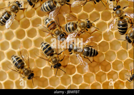 Close up view of the working bees on honeycells - Stock Photo