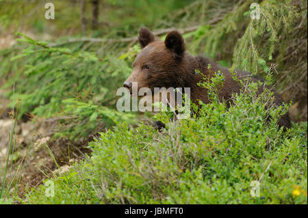 Brown bear cub in a forest - Stock Photo