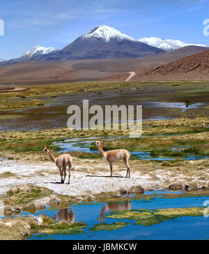 The photo was taken on the road through the Andes near Paso Jama, Chile-Argentina-Bolivia.Vicuña (Vicugna vicugna) - Stock Photo