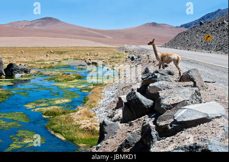 The photo was taken on the road through the Andes near Paso Jama, Chile-Argentina-Bolivia. Vicuña (Vicugna vicugna) - Stock Photo