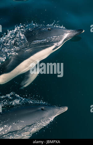 Closeup of two Dolphins in the Strait of Gibraltar. - Stock Photo
