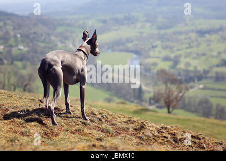 Whippet dog portrait in nature looking across the fields into the distance - Stock Photo