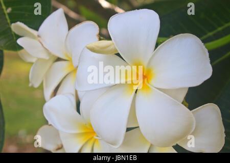 Branch of tropical flowers frangipani (plumeria) in garden - Stock Photo