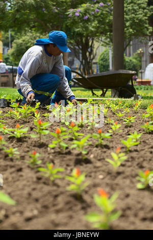LIMA, PERU - FEBRUARY 1, 2012: Unidentified gardener planting flowers in the park Parque Kennedy in the district - Stock Photo