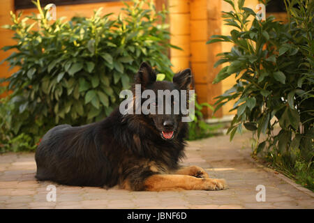Yong shepherd dog lying on the road in the yard. Summer composition, - Stock Photo