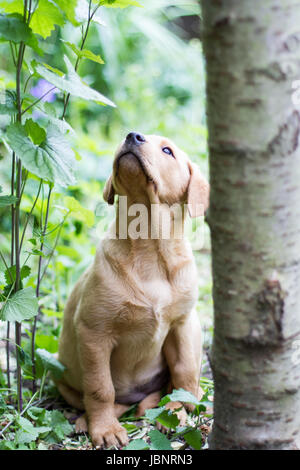 A curious and inquisitive yellow Labrador retriever puppy sitting obediently and looking upwards in undergrowth - Stock Photo