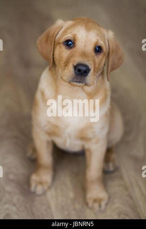 Wonderful Chocolate Lab Chubby Adorable Dog - a-cute-yellow-labrador-retriever-puppy-sitting-obediently-indoors-and-looking-straight-at-the-camera-in-a-dog-portrait-image-jbnrn5  Pictures_754074  .jpg