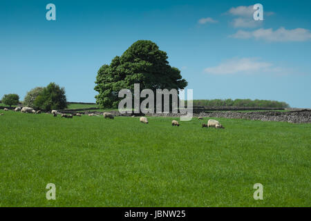 Sheep and lambs grazing in a field under blue skies on a bright Spring day (3) - Stock Photo