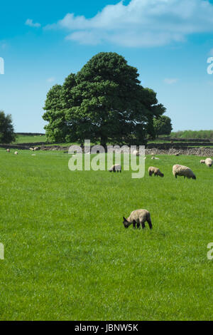 Sheep and lambs grazing in a field under blue skies on a bright Spring day (1) - Stock Photo