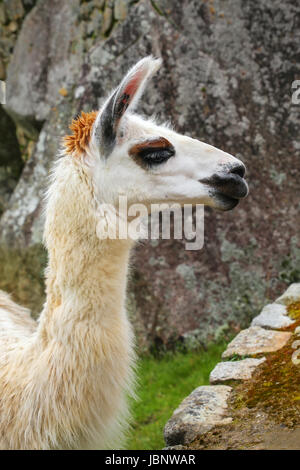 Portrait of llama standing at Machu Picchu, Peru. In 2007 Machu Picchu was voted one of the New Seven Wonders of - Stock Photo