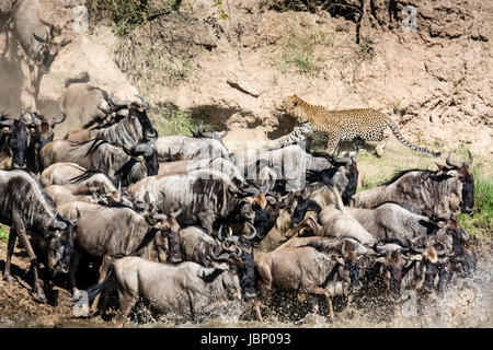 African leopard, Panthera pardus, stalking Wildebeest herd, Connochaetes taurinus, crossing in great migration, - Stock Photo