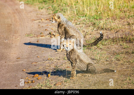 Two little wild Cheetah Cub babies, Acinonyx jubatus, Masai Mara National Reserve, Kenya, East Africa African wildlife - Stock Photo