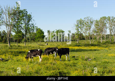 Young cows grazing in a green and yellow pastureland - Stock Photo