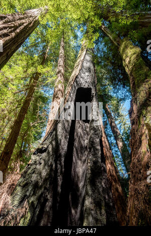 View up a burnt redwood tree trunk in Redwood National Park, California. - Stock Photo