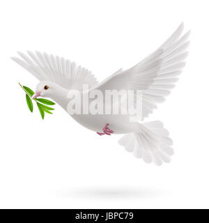 Dove of peace flying with a green twig olive after flood on white background - Stock Photo