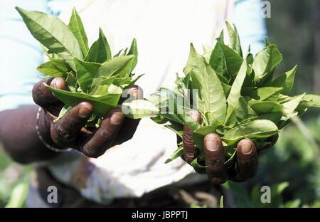 Eine Frau beim Teepfluecken in einer Teeplantage in den Bergen bei Nuwara Eliya auf der Insel Sri Lanka im Indischen - Stock Photo