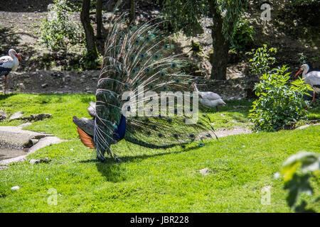 Pfau schlägt Rad zum imponieren - Stock Photo