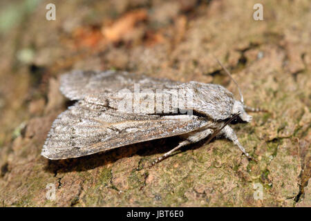 Grey Dagger Moth - Acronicta psi - Stock Photo