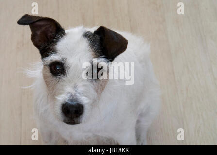 Parson Jack Russell Terrier - Stock Photo