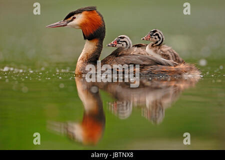 Bonnet diver - Podiceps cristatus - Great crested Grebe, Haubentaucher - Podiceps cristatus - Great crested Grebe - Stock Photo