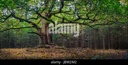 Scenic and big oak at autumn day in Finland. This oak is over 400 years old. - Stock Photo