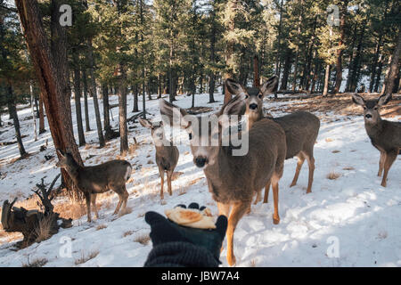 Person holding out hand with food, to entice deer, Florrisant, Colorado, USA - Stock Photo
