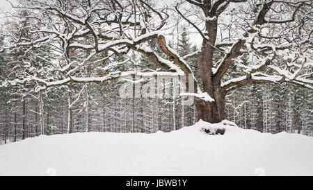 Very old and big oak with winter mood at daytime in Finland - Stock Photo