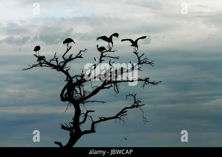 A group of storks, silhouetted against the darkening sky, stand in the top of a dead tree. - Stock Photo